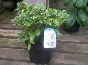 picture of pot grown skimmia marlot