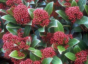 Skimmia Japonica flower which start white and then turn to a deep red